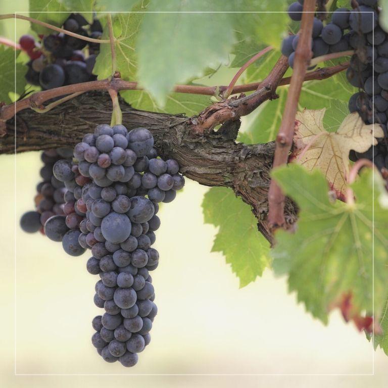 Villa Fontana e il territorio: i vitigni